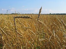 В США пересчитали прогнозы по российской пшенице