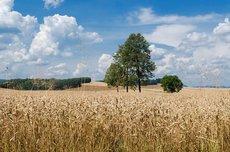 В Грузии объяснили, к чему приведёт рост цен на пшеницу из России