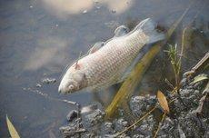 В Ростовской области массово гибнет рыба