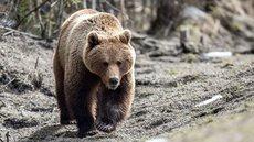 В Красноярском крае застрелили напавшего на людей медведя