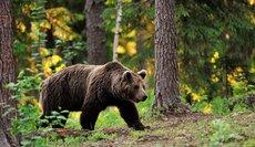 На Ямале пройдет перепись бурых медведей
